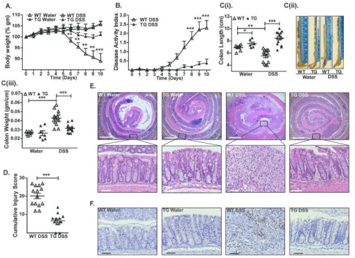 Cl-2TG mice are protected from DSS-induced acute colitisTo induce colitis, mice received DSS (4% w/v) in the drinking water (10 days). (A). Weight loss during the course of DSS administration; (B). Disease activity index (DAI) changes among DSS-treated groups; C(i). Colon length (cm) in control and DSS-treated mice, C(ii). Representative colon images, and C(iii). Colon weight/cm; (D). Cumulative injury scores. Control mice did not show inflammation and associated injury; (E). Representative H&E staining of the colonic tissues from control and DSS-treated mice; (F). Representative photomicrographs demonstrating immunostaining to determine colonic myeloperoxidase (MPO) activity from control and DSS-treated mice. Values are presented as mean ± sem. *p<0.05, **p<0.01, ***p<0.001. Scale bars=500 or 50 μm.