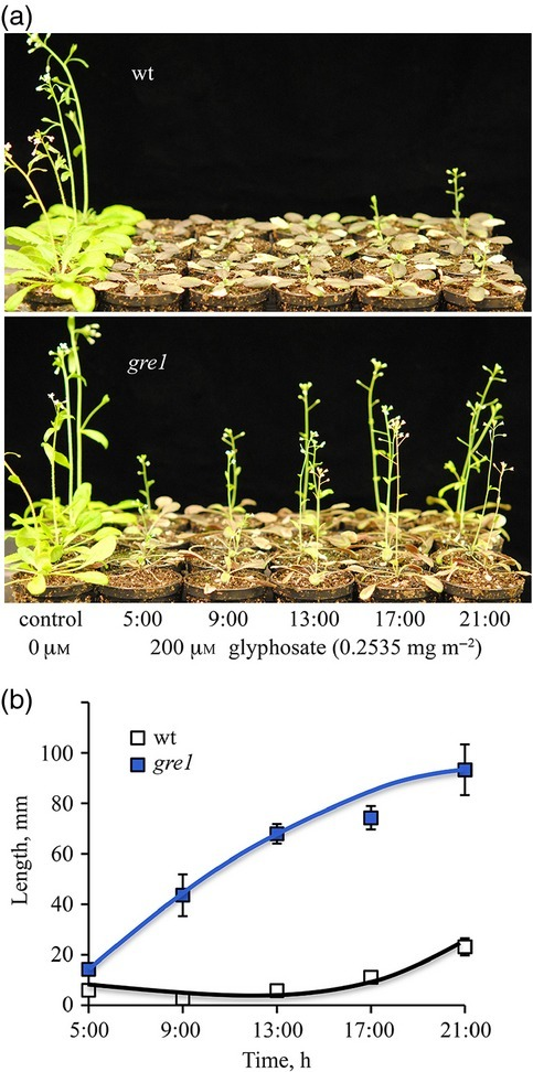 Glyphosate effects are dependent on the time of day at which spraying occurs. (a) Comparison of plant survival rates after 200 μm glyphosate (0.2535 mg m−2) application at 5:00, 9:00, 13:00, 17:00 and 21:00 h on 20-day-old greenhouse grown plants and the control was a spray without glyphosate. Pictures were taken 12 days after the treatment.(b) Shoot length of glyphosate treated plants. Measurement was done at day 12 after the application (n = 10).