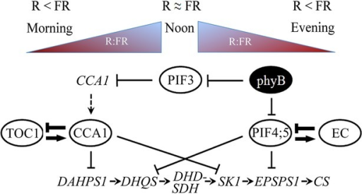 A model proposing controls of the shikimate pathway.PhyB exerts control over the pathway by changing its active and non-active, Pfr and Pr, conformations according to the light quality (R:FR). The R:FR increases gradually from the onset of light till midday and decreases towards evening. Expression of DAHPS1 and SK1 is repressed by the circadian component CCA1 during the day, while phyB (Pfr) promotes the accumulation of DHQS and EPSPS1 in response to high R:FR through the interaction with PIF4 and PIF5. During the evening, EC elements have a role in stabilizing PIF4 and PIF5. Arrows and blunt end lines indicate stimulatory and inhibitory effects respectively, and dashed arrows indicate transcriptional activation. The proposed feed-back regulation of the circadian clock and EC-dependent regulation are shown as embossed arrows.