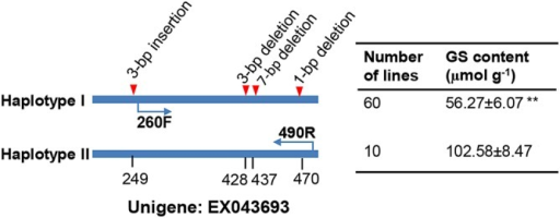 Summary of significant polymorphisms at BnaC.HAG3b locus. The locations of DNA sequence polymorphisms (in bp) are based on unigene EX043693. All four polymorphisms were combined into two haplotypes. The number of lines sharing each haplotype, as well as the glucosinolate content (mean±standard error) was given at the right. **indicates the statistical difference at P < 0.01 in t-test. Arrows indicate the positions of primers (260F: TTGTAATAGAGTTCATATATATCG; 490R: TTCATACATCAAATACCAAAC) for the converted PCR marker.