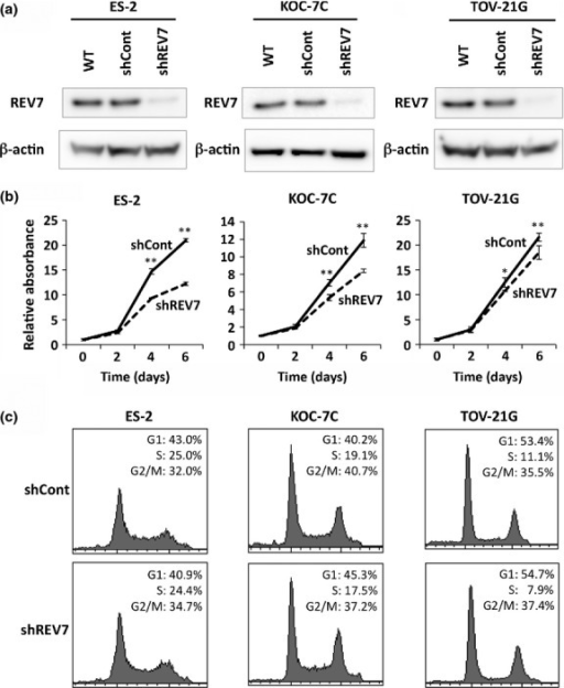 Knockdown of REV7 inhibits cell proliferation but does not affect the cell cycle of ovarian clear cell carcinoma cells. (a) Western blot images of REV7 expression in wild-type (WT), REV7-knockdown (shREV7), and control (shCont) clear cell carcinoma cells. The image of β-actin is indicated as an internal control. (b) Cell proliferation analysis of REV7-knockdown and control cells. The means ± SDs of relative cell counts are shown. *P < 0.05; **P < 0.01. (c) Graphical depiction of data obtained from flow cytometry analysis. Percentages of cell populations in each phase of the cell cycle are indicated.