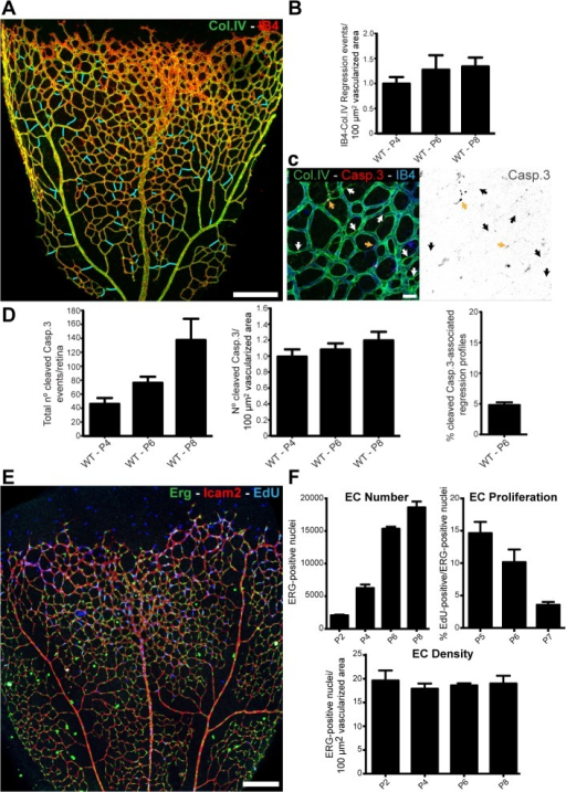 Developmental vessel regression does not depend on endothelial cell death.A, Overview of a wild-type postnatal day 6 (P6) mouse retina highlighting all regression profiles (blue lines). Regression profiles are vessel segments with collagen IV-positive vessel segments and negative for IsolectinB4. B, Quantification of number of regressing segments at P4, P6, and P8 retinas per vascularized area. C, Representative image of a P6 mouse retina labeled with Col.IV (green), cleaved caspase-3 (red) and IsolectinB4 (blue) showing regression profiles (white arrows) associated with cleaved caspase-3-positive cells (yellow arrows). D, Quantification of total numbers of cleaved caspase-3 events in entire P4, P6, and P8 mouse retinas, normalized for 100 μm2 of vascularized tissue. At P6, only 4.82% ± 0.76 (n = 5 retinas) of regression events are associated with caspase-3-positive labeled endothelial cells. Data given as mean ± SD. E, Confocal images of P6 wild-type retinas after 4h EdU-treatment (EdU, blue), endothelial cell nuclei (Erg, green) and blood vessels (ICAM2, red). F, Quantification of total number of endothelial cells, percentage of ETS related gene (Erg)- and 5-ethynyl-2'-deoxyuridine (EdU)-positive cells to total number of endothelial cells, and number of endothelial cells per vascularized area at specified mouse retina developmental stages. Mean ± SEM; n = 4 mice, 2 litters. Scale bars (A and E: 200 μm; C: 25 μm). The data used to make this figure can be found in S1 Data.