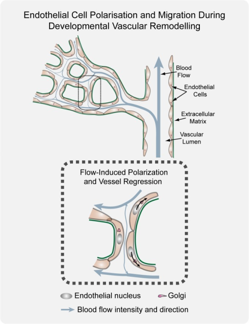 Working model for flow-induced remodeling through directional migration.Schematized prototypic vessel network in a developing retina. Endothelial cell axial polarity is indicated by Golgi position; flow direction (arrows) and velocity (thickness), producing luminal membrane shear stress, are depicted by light blue lines. Vessels in the distal primitive plexus are exposed to low, oscillatory, or no-flow, and vessels closer to developing arteries are exposed to higher blood flow velocities. High blood flow leads to increased levels of shear stress, which induces robust polarization of endothelial cells against flow. Increasing flow asymmetries between juxtaposed vessel segments trigger endothelial migration away from low flow regions (black arrows), inducing vessel segment regression.