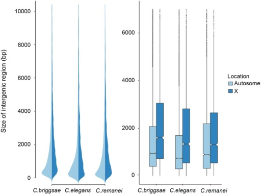 Comparison of intergenic spaces between autosomes and X chromosomes.(a) Kernel smoothed distribution of intergenic spaces across the entire genome for C. elegans, C. briggsae and C. remanei. (b) Intergenic spaces differ between autosomes and the X chromosome in C. briggsae (Kruskal-Wallis χ2 = 556.09, df = 1, p < 2x10−16), C. elegans (Kruskal-Wallis χ2 = 476.32, df = 1, p < 2x10−16) and C. remanei (Kruskal-Wallis χ2 = 76.76, df = 1, p < 2x10−16). The boxplot indicates the bottom and top quartiles (black lines), middle quartiles (blue boxes), and median value (central notch) with outliers are shown as black dots. Intergenic spaces differ significantly between species on autosomes (Kruskal-Wallis χ2 = 328.4957; df = 2, p < 2x10−16; Bonferroni-adjusted Pairwise Wilcoxon Rank Sum C. remanei:C. elegansp < 2x10−16, C. remanei:C. briggsaep < 0.039; C. briggsae:C. elegansp < 2x10−16) and the X chromosome (Kruskal-Wallis χ2 = 112.52, df = 2, p < 2x10−16; Bonferroni-adjusted Pairwise Wilcoxon Rank Sum C. remanei:C. elegansp < 1.6x10−7, C. remanei:C. briggsaep < 2x10−16; C. briggsae:C. elegansp < 0.0005).