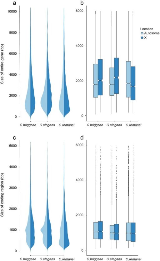 Differences in total gene size (introns and exons) versus protein coding size (exons) in C. elegans, C. briggsae and C. remanei.(a-b) Gene Size differs between autosomes and the X chromosome in C. briggsae (Kruskal-Wallis χ2 = 24.63, df = 1, p < 6.96x10−7), C. elegans (Kruskal-Wallis χ2 = 58.04, df = 1, p < 2.56x10−14) and C. remanei (Kruskal-Wallis χ2 = 99.10, df = 1, p < 2x10−16) but protein size does not (C. briggsae Kruskal-Wallis χ2 = 0.94, df = 1, p = 0.66; C. elegans Kruskal-Wallis χ2 = 0.29, df = 1, p = 1; C. remanei Kruskal-Wallis χ2 = 4.3096, df = 1, p = 0.08). Gene size differs significantly among the species on autosomes (Kruskal-Wallis χ2 = 152.86; df = 2, p < 2x10−16; Bonferroni-adjusted Pairwise Wilcoxon Rank Sum C. remanei:C. elegansp < 2x10−16, C. remanei:C. briggsaep < 2x10−16; C. briggsae:C. elegansp < 6x10−5) and between C. remanei and the self-fertile hermaprodites on the X chromsome (Kruskal-Wallis χ2 = 64.39; df = 2, p < 1x10−14; Bonferroni-adjusted Pairwise Wilcoxon Rank Sum C. remanei:C. elegansp < 2x10−10, C. remanei:C. briggsaep < 1.8x10−11; C. briggsae:C.elegansp = 1). (c-d) Protein size differs significantly between C. briggsae and C. elegans and C. briggsae and C. remanei on both the autosomes (Kruskal-Wallis χ2 = 91.32; df = 2, p < 2x10−16; Bonferroni-adjusted Pairwise Wilcoxon Rank Sum C. remanei:C. elegansp = 1, C. remanei:C. briggsaep < 2x10−16; C. briggsae:C.elegansp < 1.5x10−11) and X chromosome (Kruskal-Wallis χ2 = 40.36; df = 2, p < 1.7x10−9; Bonferroni-adjusted Pairwise Wilcoxon Rank Sum C. remanei:C. elegansp = 0.92, C. remanei:C. briggsaep < 4x10−9; C. briggsae:C.elegansp < 2x10−5).