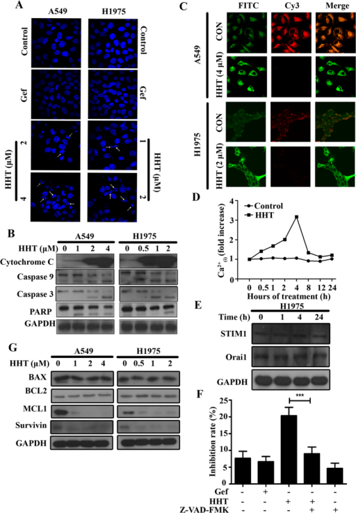 HHT induces apoptosis of NSCLC cells.(A): A549 and H1975 cells were treated with Gefitinib (3 mM) or HHT at indicated concentrations for 24 h and stained with Hoechst 33258 assay. (B): A549 and H1975 cells were treated with HHT, lysed and the protein samples were analysed by western blot with indicated antibodies. (C): A549 and H1975 cells were treated with HHT at indicated concentration and the mitochondrial transmembrane potential (ΔΨ) was tested by confocal microscopy (Olympus Fluoview FV-1000, Tokyo, Japan). (D): Ca2+(i) was measured using Ca2+ indicator FLUO-4 (Invitrogen) by flow cytometry assay. (E): H1975 cells were treated with HHT for 24 h, lysed and analysed by western blot with indicated antibodies. (F): H1975 cells were pretreated with Z-VAD-FMK (20 mM) for 1 h and then treated with HHT at 2 mM for 24 h, and the inhibition rate was determined by MTT assay. The mean±SD of three independent experiments is shown. ***, P < 0.01. (G): A549 and H1975 cells were treated with HHT for 24 h, lysed and analysed by western blot with indicated antibodies. The blots shown are derived from multiple gels. Membrane was cut based on the molecular weight, probed with antibody of interest and band of interest is indicated with an arrow. All the full-length blots are presented in Supplementary Figure 2.