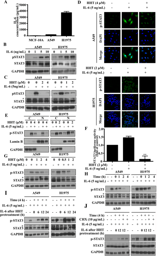 HHT inhibits IL-6-induced STAT3 phosphorylation a dose- and time-dependent manner.(A): IL-6 production in MCF-10A, A549 and H1975 cells measured by ELISA. (B): Cells were starved and treated with different concentration IL-6. Protein samples were detected by western blot. (C–E): Cells were starved and pretreated with PBS or HHT for 4 h followed by IL-6 treatment. Protein samples were detected by western blot (C), the distribution variation of phosphorylated STAT3 (Y705) were examined by immunofluorescence (D) and nuclear (N) and cytoplasmic (C) isolation assay (E). (F): pSTAT3-TA-luc plasmids were transfected into H1975 cells followed by treatment with HHT for 4 h. Then H1975 cells were treated with IL-6 for another 20 h. Firefly luciferase activities were assayed. (G): Cells were starved and pretreated with HHT at different concentrations followed by IL-6 stimulation. Protein samples were examined by western blot. (H): Cells were starved and treated with 4 μM (in A549 cells) or 2 μM (in H1975 cells) for indicated time points (0 h–4 h). After HHT pretreatment, cells were treated with 5 ng/mL IL-6 for 30 min. Protein samples were detected by western blot. (I): Cells were starved and pretreated with 4 μM (in A549 cells) or 2 μM (in H1975 cells) HHT for 4 h. Discard the HHT-containing medium and add fresh medium without HHT. After indicated incubation times (0 h–24 h), cells were treated with 5 ng/mL IL-6 for 30 min. Protein samples were detected by western blot. (J): Cells were starved and then pretreated with 4 μM (in A549 cells) or 2 μM (in H1975 cells) for 4 h. Discard the HHT-containing medium and add fresh medium containing protein synthesis inhibitor CHX (10 μg/mL) without HHT. After 12 h, cells were stimulated with 5 ng/mL IL-6 for 30 min. Protein samples were detected by western blot. The blots shown are derived from multiple gels. Membrane was cut based on the molecular weight, probed with antibody of interest and band of interest is indicated with an arrow. All the full-length blots are presented in Supplementary Figure 3.