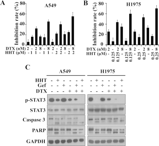 HHT exerts synergistic effect combining with docetaxel.(A and B): A549 (A) and H1975 (B) cells were treated for 24 h with DTX and/or HHT, and then assessed by MTT assay. (C): A549 and H1975 cells were treated with HHT (2 μM or 0.25 μM), Gefitinib (2 mM), DTX (8 nM) alone or together for 24 h. The treated cells were collected, lysed and assessed by western blot with indicated antibodies. The blots shown are derived from multiple gels. Membrane was cut based on the molecular weight, probed with antibody of interest and band of interest is indicated with an arrow. All the full-length blots are presented in Supplementary Figure 4.