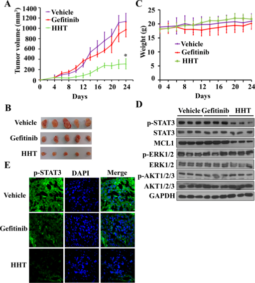 In vivo therapeutic efficiency of HHT on mice xenograft bearing human Gefitinib-resistant H1975 cells.(A): Murine models were treated with Gefitinib or HHT and the tumor volumes were calculated every two days. (B): Images of xenograft tumors obtained from mice with different treatment after 3 weeks. (C) HHT treatment did not affect the murine model body weight. (D): Phosphorylated STAT3(Y705), MCL1 expression level, phosphorylated AKT and ERK of tumor sample lysates were analyzed by western blot with indicated antibodies. Vehicle (Line 1–3), Gefitinib (Line 4–6) and HHT (Line 7–9). The blots shown are derived from multiple gels. Membrane was cut based on the molecular weight, probed with antibody of interest and band of interest is indicated with an arrow. All the full-length blots are presented in Supplementary Figure 5. (E): Phosphorylated STAT3(Y705) expression was examined by tumor immunofluorescence staining.
