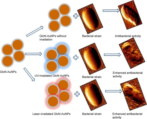 Schematic diagram for antibacterial activity of prepared nanoparticles.Abbreviations: AuNPs, gold nanoparticles; GlcN-AuNPs, glucosamine-functionalized gold nanoparticles; UV, ultraviolet light.
