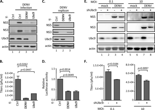 Silencing SUMO E2 enzyme Ubc9 represses DENV replication. (A and B) A549 cells were transfected with the indicated siRNAs for 48 h and then infected with DENV serotype 2 (MOI of 0.1) for another 48 h. Intracellular protein expression levels and infectious DENV titer in the culture supernatant were measured by Western blotting (WB) (A) and by plaque forming assay (B), respectively. Data are expressed as means and standard deviations (SD) (n = 3 per group) and were compared to those for siCtrl by two-tailed Student's t test. (C and D) A stable BHK-21 cell line harboring DENV2 replicon were transfected with the indicated siRNAs for 48 h. WB (C) and luciferase assay (D) were carried out to analyze the indicated protein expression levels and the replication levels of DENV2 replicon. (E and F) A549 cells stably expressing shRNA targeting control LacZ or Ubc9 were infected with DENV (MOI, 0.1 and 10) for 24 h. Cell lysates were analyzed by WB with the indicated antibodies (E), and culture supernatants were harvested for virus titration by performing plaque assays (F). The error bars represent the means and SD (n = 3 per group) and were compared by Student's t test.
