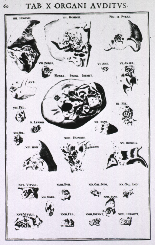 <p>Several figures showing parts of the ear.</p>