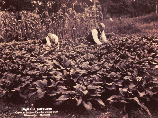 <p>Two men in a field of Digitalis purpurea.  They are kneeling on the ground with their hands among the plants.  There are corn stalks in the background.  The men are dressed in pants, white shirt, and tie; one man has on a vest.  This man appears older than the other.</p>
