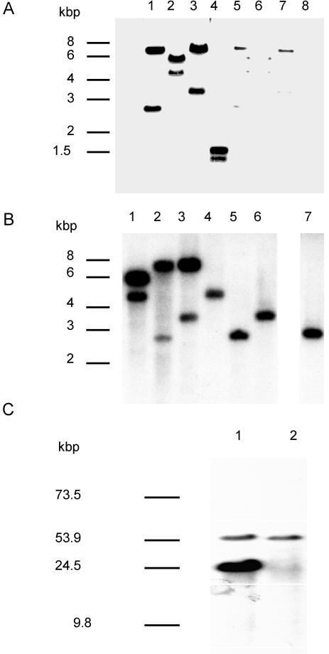 vlp1B. recurrentis A1 is plasmid encoded and duplicated in isolate A1. A: Plasmid (lane 1 to 4) and chromosome-rich (lane 5 to 8) DNA were digested with EcoRI (lane 1 and 5), HindIII (lane 2 and 6), XbaI (lane 3 and 7), and DraI (lane 4 and 8), transferred to a membrane and hybridised under high stringency with the 715 bp vlp1 probe. B: Plasmid DNA from isolate A1 (lane 1 to 3) and isolate A17 (lanes 4 to 6) and total DNA from isolate A17 (lane 7) were digested with HindIII (lane 1 and 4), EcoRI (lane 2, 5, and 7), XbaI (lane 3 and 6), and treated as described above. C: Intact plasmids from isolate A1 (lane 1) and isolate A17 (lane 2) were separated by field inversion gel electrophoresis (predefined program P1, Biorad) and treated as described above.