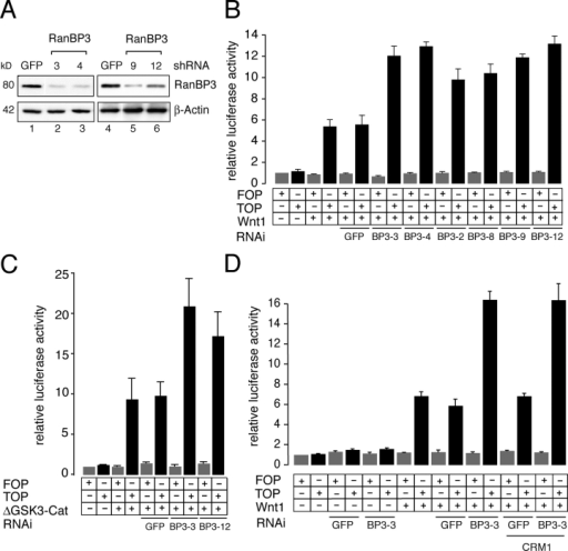 Reduction of RanBP3 by RNAi results in increased β-catenin/TCF–mediated transcription activation. (A) Western blot showing that different shRNAs against RanBP3 reduce RanBP3 protein levels in HEK293 cells. Cells were transfected with shRNAs, and pHA262-PUR was cotransfected to introduce puromycin resistance. 24 h after transfection, cells were grown on puromycin medium for 48 h and cell lysates were prepared and analyzed on Western blot with the indicated antibodies. (B) RNAi against RanBP3 increases Wnt1-induced β-catenin/TCF–mediated transcription. HEK293 cells were transfected with the indicated constructs, and activity of TOP (black bars) and FOP (gray bars) was measured 72 h after transfection. Error bars represent SDs of technical replicates of a representative experiment. (C) RNAi against RanBP3 increases β-catenin/TCF–driven transcription in HEK293 cells that transiently express an active form of β-catenin (ΔGSK3–β-catenin). Cells were transfected with indicated constructs, and luciferase activity was measured after 72 h. (D) Coexpression of CRM1 with RanBP3 shRNA constructs does not affect β-catenin/TCF–mediated transcription in Wnt1-transfected cells. HEK293 cells were transfected with the indicated constructs, and 72 h after transfection luciferase activity was measured. For all experiments, relative luciferase levels are shown as corrected with CMV-Renilla-luc. Error bars in C and D represent SEMs of independent experiments.