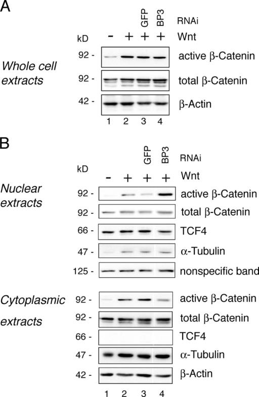 Depletion of RanBP3 results in nuclear accumulation of active β-catenin. (A) Depletion of RanBP3 does not alter the levels of both total and active dephosphorylated β-catenin. HEK293 cells were transfected with or without Wnt1 and shRNA constructs against GFP or RanBP3. 72 h after transfection, whole cell lysates were analyzed by Western blot with the indicated antibodies. (B) RNAi against RanBP3 results in increased levels of active β-catenin in the nucleus. HEK293 cells were transfected with the indicated constructs, and 72 h after transfection, nuclear and cytoplasmic extracts were prepared and analyzed by Western blot. TCF4 and tubulin staining are shown as markers for purity of the nuclear and cytoplasmic fractions. As a loading control in the nuclear fractions, TCF4 and a nonspecific reaction of the antibody recognizing active β-catenin are shown.