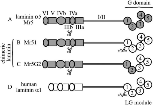 Structure of wild-type and chimeric laminin chains. The domains present in full-length laminin α5 (A), in the chimeric laminin α chains (B and C), and in full–length human α1 (D) are shown. (B) Mr51 contains human laminin α1 G domain linked to domains VI through I of mouse laminin α5. (C) Mr5G2 contains laminin α5 domains VI through α5 LG2 fused to the human laminin α1LG3-5 domain. Anti–mouse laminin α5 (*) and anti–human laminin α1 LG1–2 (**) antibody epitopes are indicated.