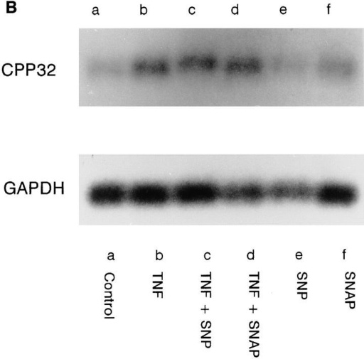 (A) CPP-32–like activity in HUVEC treated with NO donors  (10 μM) or Ac-DEVD (100 μM) and TNF-α (300 U/ml) for 18 h. (B)  Northern blot analysis of CPP32. RNA from HUVEC was prepared after  6 h of incubation with TNF-α (300 U/ml), SNP and SNAP (10 μM) as indicated. 10 μg of total RNA was resolved, blotted and sequentially hybridized to full-length human cDNA of CPP-32 and GAPDH.