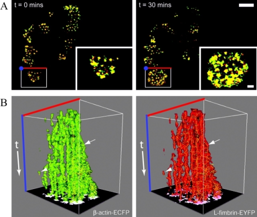 Actin and fimbrin dynamics at the leading edge. (A) 2-D time-lapse deconvolution confocal microscopy of β-actin–ECFP (green) and L-fimbrin–EYFP (red) recorded at 15-s intervals for 30 min. Colocalized signals are shown in yellow. Insets show the boxed region at higher magnification at t = 0 (left) and 30 min later (right). Bar, 10 μm. (B) Kymographs from the boxed region (A) shows that actin (left, green) and fimbrin (right, red) have similar lateral distribution over time producing short-lived traces (arrowhead) and longer-lived branching traces (arrow). A 2-D image of the last time point forms the floor of the kymograph box. The boxed region is 15 μm × 20 μm × 30 min.