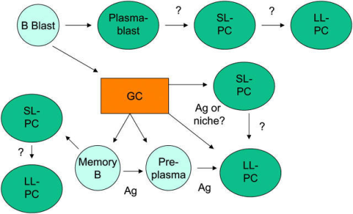 The tangled web of PCs and their precursors. Schematic representation of PC subsets and their postulated or proven precursors and products. SL, short-lived; LL, long-lived; Ag, antigen.