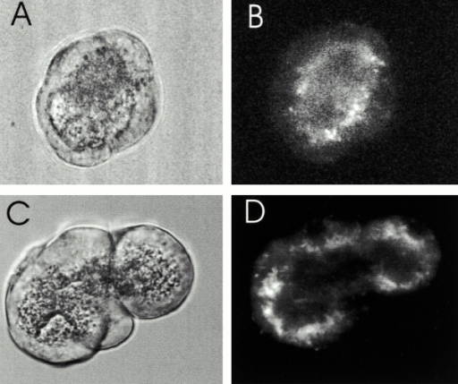 Subcellular localization of RyRs and mitochondria in acinar cells. A and C show bright-field images of clusters of acinar cells that correspond to the confocal fluorescence images in B and D, respectively. (B) An acinus stained with BODIPY-ryanodine to visualize RyR. Diffuse labeling is seen throughout the cytoplasm; however, the boundary between the zymogen granule containing region and the basal portion of the cell exhibits the greatest intensity of labeling. (D) An acinus stained with Mitotracker red to visualize mitochondria. The majority of mitochondria are present in a similar location to RyR, surrounding the apical, granule-containing region of the cell.