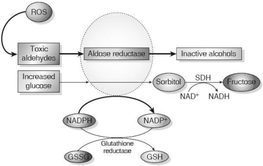 Aldose reductase and the polyol pathway. Aldose reductase reduces aldehydes generated by ROS to inactive alcohols, and glucose is converted to sorbitol, using NADPH as a co-factor. For cells in which aldose reductase activity is sufficient to deplete reduced GSH, oxidative stress is augmented. Sorbitol dehydrogenase (SDH) oxidizes sorbitol to fructose using NAD+ as a co-factor (Brownlee 2001) (Adapted by permission from Macmillan Publishers Ltd: Nature, Vol. 414, 2001).