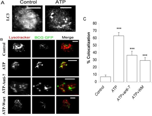 ATP-induced autophagy triggers phagosome-lysosome fusion. A. Confocal images of MDMs treated with 3 mM ATP for 30 minutes and immuno stained for intracellular LC3. B. Confocal images of live MDMs infected with GFP-BCG (green) and pre-pulsed with Lysotracker (red) to stain acidic lysosomes. Cells were pre-incubated with anti-P2X7 (3 μg/ml) or wortmannin (100 nM) for 1 hr and then treated with 3 mM ATP for 30 minutes. Note scale bars = 10 um. C. Graph showing the percentage of Lysotracker positive, GFP-BCG containing phagosomes. Histogram shows means ± s.e.m. (n = 25–60 phagosomes). *** = P < 0.01.