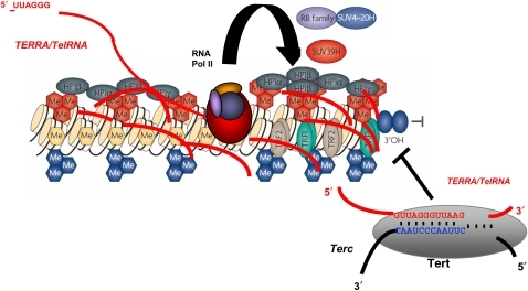 TERRA/TelRNAs associate to telomeric chromatin and may be involved in regulation of telomere length. Model for a role of telomeric RNAs in the regulation of telomere length. TERRA/TelRNA acts as a potent inhibitor of telomerase activity in vitro, possibly by formation of RNA:RNA hybrids with the template region of the telomerase RNA component.