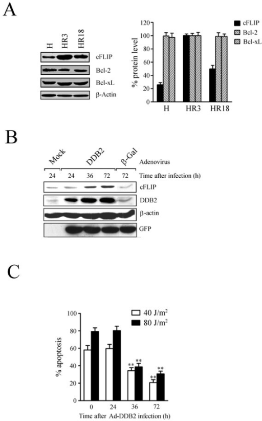 Stimulation of cFLIP expression and attenuation of UV sensitivity by forced expression of DDB2. (A) Overexpression of cFLIP in HR3 cells. The plotted values represent means ± S.D. of three experiments (right panel). (B) Stimulation of cFLIP expression by forced expression of DDB2. Whole cell extracts of HR18 cells, treated as indicated, were subjected to immunoblot analysis with specific antibodies. (C) Cell sensitivity to UV after Ad-DDB2 virus infection. The plotted values represent means ± S.D. of three experiments. ** Significant difference against control (p < 0.05).