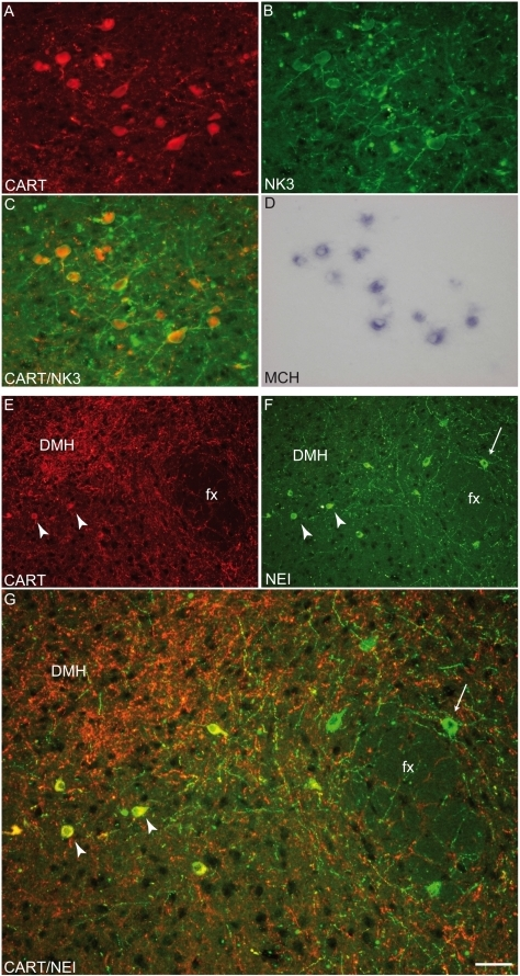 Co-expression of MCH/NEI, CART and NK3.(A–D) Photomicrographs to illustrate the co-expression of NK3 receptor and CART peptide by immunohistochemistry as well as the preproMCH (ppMCH) mRNA using in situ hybridization. CART and NK3 were first detected by immunofluorescence (A and B respectively, C). Then, the presence of the ppMCH mRNA in the same cell bodies was verified by in situ hybridization (D). All MCH positive neurons that expressed CART also contained NK3. (E–G) Photomicrographs showing NEI/CART (arrowheads) or NEI (arrows) labeled neurons. Most NEI-positive neurons localized medially to the fornix expressed CART. NEI and CART co-expression was less frequent lateral to the fornix (G). DMH: dorsomedial nucleus hypothalamus, fx: fornix.