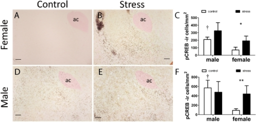 Immunostaining for phosphorylated CREB in female (A, B, C) and male (D,E, F) California mice after social interaction tests.Mice were exposed to three control or social defeat episodes. Social defeat increased the number of pCREB positive cells in females but not males in the NAc shell (C) and core (F). Control males generally had higher pCREB cell counts than control females. † Mann-Whitney sex difference in controls p<0.05, *, **, Mann-Whitney effect of stress p<0.05, p<0.01 respectively. All data are mean±s.e. Anterior commissure, ac. Scale bars = 100 µm.