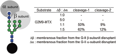 G-II activity toward G2M9-MTX using the membranous fraction of gene disruptants lacking either the G-II α-subunit or β-subunit. The membranous fraction lacking the β-subunit was inactive against high mannose-type oligosaccharide.
