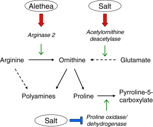 Effects of Alethea and salinity on proline and polyamine biosynthesis. Pathway diagram illustrating conversion of arginine and glutamate to ornithine and thence proline. Significant transcriptional effects of Alethea and salinity on genes encoding relevant enzymes (italics) are shown as red arrows for up-regulation and blue bars for down-regulation.