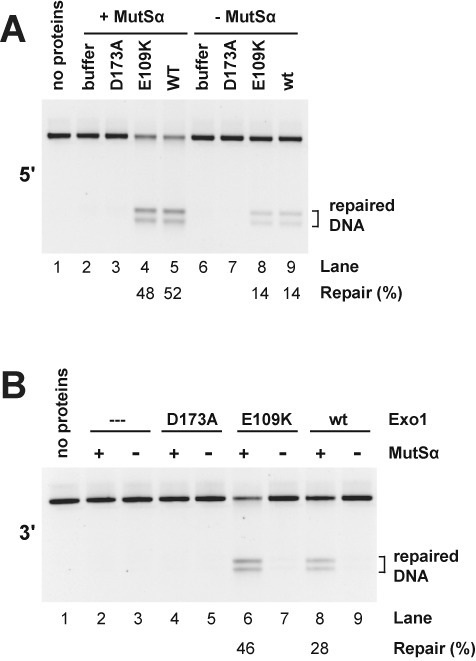 Exo1 hydrolytic action is required for reconstituted mismatch repair. Mismatch repair of 5′- (panel A) or 3′- (panel B) G-T heteroduplex DNAs was determined in the presence of MutLα, RPA, RFC, PCNA and DNA polymerase δ in the absence or presence of MutSα, Exo1-D173A, Exo1-E109K or wild type Exo1 as indicated. Mismatch repair was determined as in Figure 3.