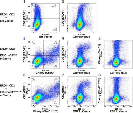 Activity of the unfolded protein response (UPR) as measured by an XBP1-splicing reporter is also unaffected by depletion of ER glutathione.FACScans as in '6B' of CHO cells stably transduced with an XBP1 splicing reporter linked to the expression of the fluorescent protein Venus (Iwawaki et al., 2004). Where indicated cells were co-transfected with expression plasmids for a hyperactive mutant of ERO1 (C104A, C133A; ERO1*) tagged by the cell-surface marker CD2 and wild-type or inactive mutants of ChaC1 fused to mCherry. The axis of the scans is labeled with the cognate signals.DOI:http://dx.doi.org/10.7554/eLife.03421.011