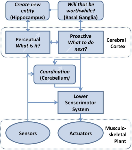 Theory of computation for Bayesian Action&Perception. The associative memory in the various areas of cerebral cortex interprets incoming sensory data in the light of current hypotheses about the potential identity of objects (Perceptual) and selects an output that it expects will confirm that hypothesis by generating new sensory data (Proactive). Orderly development, use and refinement of this cortical database requires three major supporting functions that also require some form of learning: Value judgments are required to decide what level of certainty is acceptable for the identity and expected behavior of an unknown object, tentatively ascribed to the basal ganglia (Bornstein and Daw, 2011). If no acceptable identification is possible, then these unreconciled associations of motor strategies and sensory feedback that have been experienced with the unknown object must be remembered and eventually turned into a compressed, efficient representation of a new entity in cerebral cortex, tentatively ascribed to hippocampus (Winocur et al., 2010; Petrantonakis and Poirazi, 2014). The learned, abstract motor strategies need to be coordinated with lower level sensorimotor systems (e.g., spinal cord and brainstem) that can activate and stabilize complex body movements, tentatively ascribed to cerebellum (Thach, 2014).