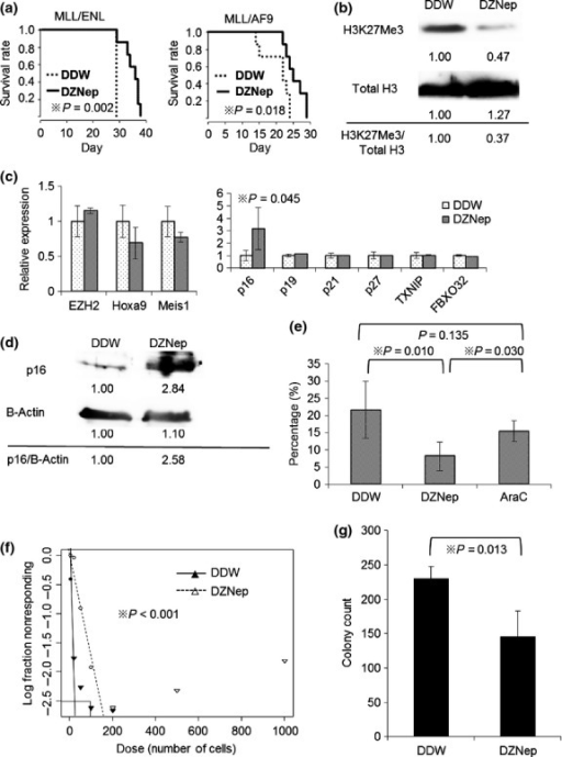Administration of EZH2 inhibitor is therapeutically effective in MLL fusion leukemic mouse models. (a) Mice were injected intravenously with 1 × 104 of leukemia cells. From 7 days after injection, mice were treated intraperitoneally with DZNep, 2 mg/kg 3 days per week, until death. Survival of the mice in both groups (DDW as vehicle control and DZNep) is represented by Kaplan–Meier plot. P-values were calculated by log-rank test. N = 7 for each group. (b) Total BM cells were collected and lysed at 21 days after transplantation. Immunoblot analysis was performed for H3K27Me3. The levels of total H3 served as the loading control. Values indicate relative density scale. (c) GFP positive BM cells were sorted and analyzed by qRT-PCR at 21 days after transplantation. Relative expression of EZH2 and its target genes are shown. P-values were calculated by unpaired T test. N = 6 for DDW group and N = 5 for DZNep group. (d) Immunoblot analysis was performed for p16. The levels of β-actin served as the loading control. (e) The BM cells of MLL/AF9 leukemic mice treated with DDW, DZNep or AraC (100 mg/kg intraperitoneally from day 14–18) were collected and analyzed by flow cytometry at 21 days after transplantation. The percentages of L-GMP in GFP positive cells are shown (N = 6, 4 and 5). P-values were calculated by unpaired T test. (f) GFP positive BM cells were sorted and limiting dilution assay was performed. Poisson distribution of LIC frequency is shown. P-value was calculated by chi-square test. (g) 1 × 104 of sorted GFP positive BM cells were placed in 1 ml of methocult M3434 and cultured for 5 days. Colony counts for each group are shown. P-value was calculated by unpaired T test. N = 4 for each.