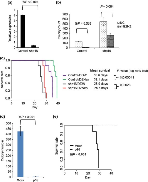 Suppression of p16 restores anti-leukemic effect of EZH2 inhibition. (a) MLL/ENL leukemia cells were transduced with pSIREN-RetroQ-shp16 (shp16) or control vector and cultured in 2.5 μg/ml of puromycin containing medium for 5 days. The total RNAs were isolated and analyzed for p16 by qRT-PCR. N = 2 for each. (b) shp16 transduced leukemia cells were transduced with pSIREN-ZsGreen control or shEZH2. 1 × 104 of sorted ZsGreen positive cells were placed in 1 ml of methocult M3434 (2.5 μg/ml of puromycin containing) and cultured for 5 days. Colony counts for each group are shown. P-value was calculated by unpaired T test. N = 2 for each. (c) Mice were injected intravenously with 1 × 104 of control or shp16 transduced MLL/ENL leukemic cells. Mice were treated with DZNep or DDW as previously shown in Figure1a. N = 7 for each group. (d) Retrovirus encoding p16-IRES-GFP was infected into MLL/ENL leukemia cells. GFP positive cells were sorted and placed in 1 ml of methocult M3434 and cultured for 5 days. Colony counts for each group are shown. P-value was calculated by unpaired T test. N = 5 for each. (e) Mice were intravenously injected with 1 × 104 of p16-IRES-GFP or mock transduced MLL/ENL leukemic cells. N = 7 for each group.
