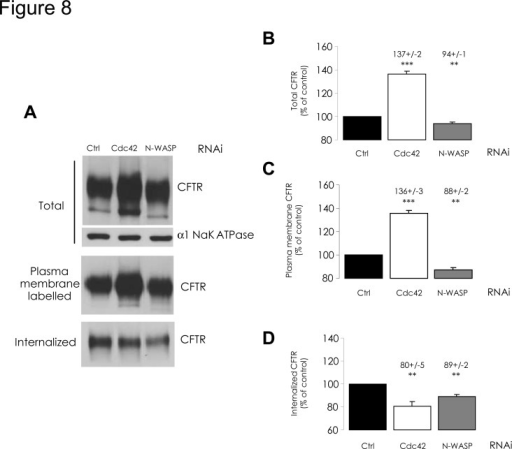 Impact of Cdc42 or N-WASP depletions upon CFTR amount and internalization.RNAi-mediated depletions of Cdc42 or N-WASP were performed for 48 h. We then used biotinylation experiments to evaluate CFTR amount at the cell surface and CFTR internalization, as described in Fig. 2 legend. (A) Representative Western blots and (B-D) histograms summarizing the data are presented. Following Cdc42 depletion, (B) total CFTR amount in whole cell lysate, (C) as well as CFTR amount at the plasma membrane, had increased compared to negative control RNAi conditions. (D) Internalized CFTR amount had decreased following Cdc42 depletion. Data represent means ± SEM of 3 independent experiments, each performed in duplicate. ***: p<0.001, **: p<0.01.