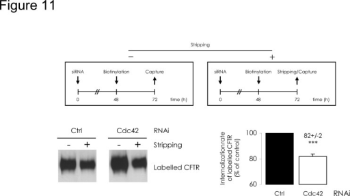 Cdc42 depletion reduces the long-term CFTR internalized fraction.The upper diagrams summarize the procedures followed. 48 h after cell transfection by siRNA, PM proteins were labelled and the cultures were submitted to additional 24 h incubation at 37°C. Purification occurred either directly (-), from 200 μg clarified lysates, or alternatively, after a MESNA-mediated stripping step (+), from 600 μg clarified lysates. After densitometric quantification of Western blot images (representative example in the bottom left panel), (+) to 3×(-) ratios were calculated. The Ctrl RNAi value was used to define 100% of long-term internalized fraction. In the bottom right panel, histograms express the relative CFTR internal fractions normalized to the Ctrl RNAi condition. Data represent means ± SEM of 3 independent experiments, each performed in duplicate. ***: p<0.001.