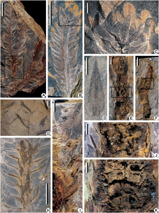 Compressions of leafy axes and leaves (A-D, G, H), limonite permineralized strobili (E, F, I-K) of Minostrobus chaohuensis.(A) Dichotomous vegetative axes with persistent leaves. Rectangle indicating portion enlarged in Fig. 3H. PKUB12124. Scale bar = 10 mm. (B) Distal part of vegetative axis with persistent leaves. Rectangle indicating portion enlarged in Fig. 3C. PKUB12139. Scale bar = 10 mm. (C) Enlargement of Fig. 3B (rectangle), showing the lanceolate leaf in face view. PKUB12139. Scale bar = 2 mm. (D) Lanceolate vegetative leaf in face view. PKUB12159. Scale bar = 2 mm. (E) Limonite permineralized megasporangiate strobilus. Rectangle indicating portion enlarged in Fig. 3J. PKUB12188. Scale bar = 5 mm. (F) Limonite permineralized microsporangiate strobilus. Arrow indicating portion enlarged in Fig. 3I. Rectangle indicating portion enlarged in Fig. 3K. PKUB12189. Scale bar = 10 mm. (G) Detached vegetative leaves in the matrix. PKUB12160. Scale bar = 2 mm. (H) Enlargement of Fig. 3A (rectangle), showing vegetative leaves in lateral view and rhombus leaf bases. PKUB12124. Scale bar = 5 mm. (I) Enlargement of Fig. 3F (arrow), showing laminae of microsporophyll. PKUB12189. Scale bar = 2 mm. (J) Enlargement of Fig. 3E (rectangle). Arrow indicating megaspores. PKUB12188. Scale bar = 2 mm. (K) Enlargement of Fig. 3F (rectangle), showing strobilar axis and microsporangia on the adaxial surface of sporophyll pedicel. PKUB12189. Scale bar = 2 mm.