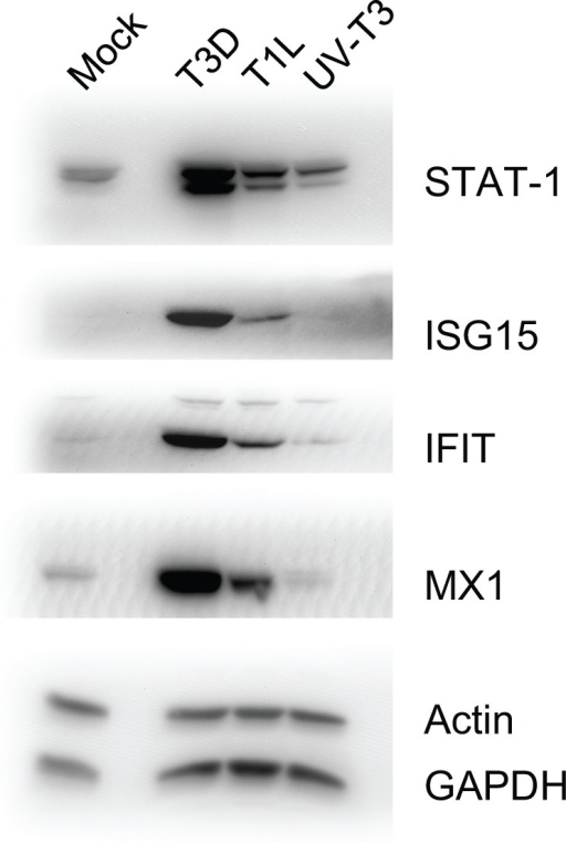 Immunoblot analyses of indicated host proteins in HeLa cells mock-infected, or infected with T3D or T1L, or treated with UV-inactivated T3D. Cells were harvested and lysed with 0.5% NP-40 detergent, nuclei removed, and cytosolic fractions dissolved in SDS electrophoresis sample buffer, resolved in 10% mini SDS-PAGE, transferred to PVDF, and probed with various antibodies. Bands were visualized, and intensities measured, with an Alpha Innotech FluorChem®Q MultiImage® III instrument.