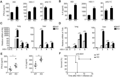 TRIM30α deficiency protects the mice from DNA virus infection.(A, B) ELISA of IFN-β and IL-6 in wild-type and Trim30α-/- CD11c+ splenocytes stimulated for 24 h with ISD (1 μg/ml), HSV-1 (MOI 10) or poly(I:C) (5 μg/ml). (C, D) Real-time PCR of IFN-β and TNF-α in the lung and liver from wild type and Trim30α-/- mice infected with HSV-1 (2×107 PFU) (i.v.) for the indicated times. (E) ELISA of IFN-β and IL-6 in serum of wild type and Trim30α-/- mice 6 h after intravenous infection with HSV-1 (1.2×107 PFU) (n = 5). (F) Survival of age- and sex-matched wild-type and Trim30α-/- mice (n = 5 per group) infected with HSV-1 (2×107 PFU) (i.v.) and monitored daily for 15 d. The data are representative of three independent experiments and are presented as mean ± SEM. *p < 0.05, **p < 0.01 and ***p < 0.001.