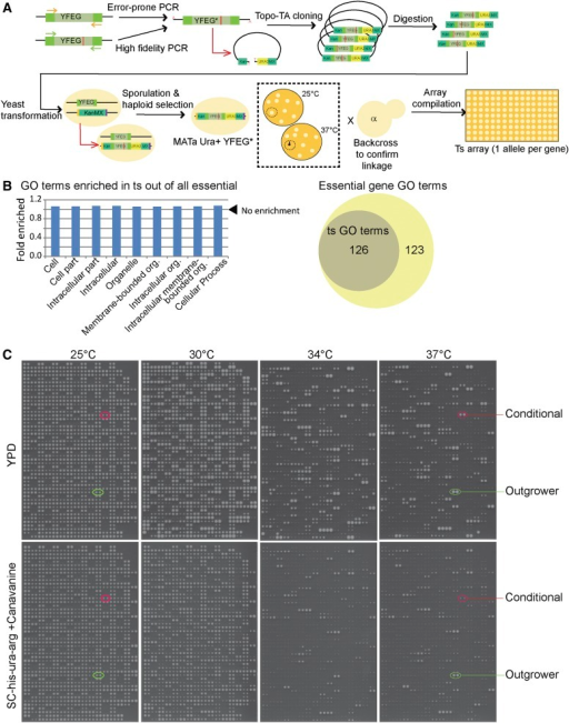 Generation And Characterization Of A Diploid Shuffle Ts Allele Array Schematic