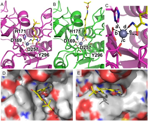 Compound MC2776 docked to the KDAC1 protein.(A) in the B. malayi protein and (B) in the H. sapiens protein. MC2776 is shown as yellow stick model along with important residues for ligand binding. (C) shows a close-up view of the zinc-centered square based pyramid, Distances for these are shown in Table 2. (D) and (E) show the rendered surface models of the cartoon representations from (A) and (B).