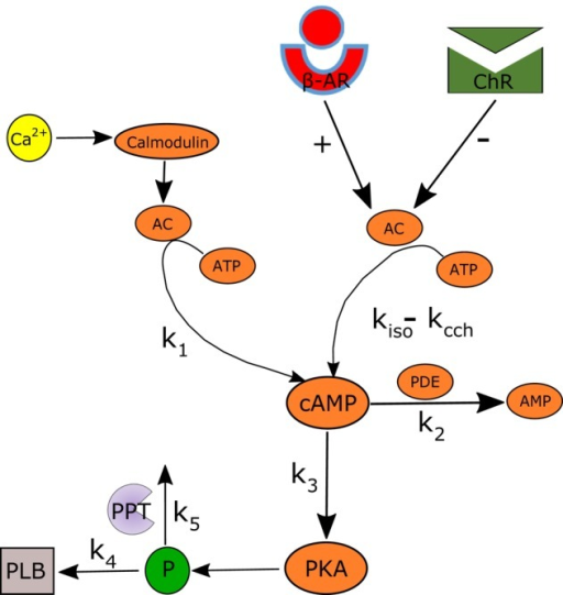 Schematic illustration of the AC-AC-cAMP-PKA signaling cascade. Adenylyl cyclase (AC) is activated by adrenergic receptors (β-AR) and calmodulin, and deactivated by cholinergic receptor (ChR) stimulation. Activated AC converts adenosine triphosphate (ATP) into cAMP, which itself is transformed into protein kinase A (PKA). PKA phosphorylates a number of targets, including phospholamban (PLB) proteins, whose phosphorylation level will regulate the activation of SERCA and thus the speed at which Ca2+ enters the SR. The model includes two restraining mechanisms that act like brakes: protein phosphatase (PPT), which removes phosphate groups from proteins, and phosphodiesterase (PDE), which breaks the phosphodiester bond in cAMP and degrades its level.