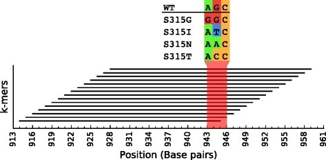 Going beyond k-mers: This figure shows the location, on the katG gene, of each k-mer targeted by the isoniazid model (rule and equivalent rules). All the k-mers overlap a concise locus, suggesting that it contains a point mutation that is associated with the phenotype. A multiple sequence alignment revealed a high level of polymorphism at codon 315 (shown in red). The wild-type sequence (WT), as well as the resistance conferring variants S315G, S315I, S315N and S315T, were observed. The rule in the model captures the absence of WT and thus, includes the occurrence of all the observed variants