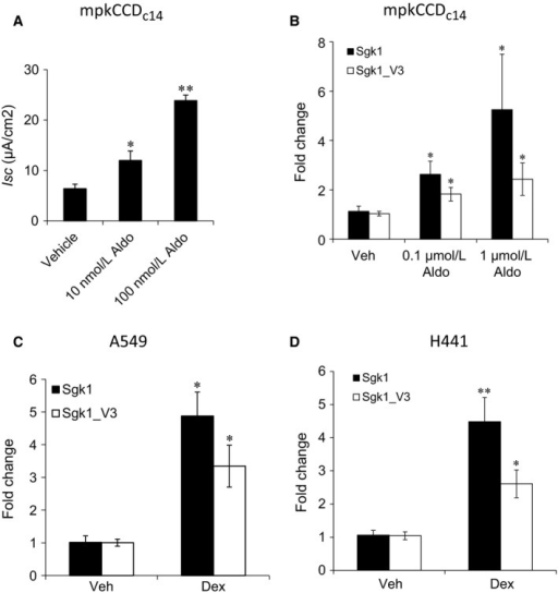 Effect of corticosteroids on Na+transport and on sgk1_v3 expression. (A) Effect of aldosterone for 4 h on short circuit current in mpkCCDc14 cells. Similar results were obtained for 24 h exposure from several independent experiments. (B) Effect of aldosterone for 24 h on sgk1 and sgk1_v3 mRNA expression in mpkCCDc14 cells. n = 8, mean ± SE from 2 exps. (C) Effect of 100 nm dexamethasone on Sgk1 and Sgk1_v3 mRNA expression in A549 cells for 4 h. Representative of several independent experiments. (D) Effect of 100 nm dexamethasone on Sgk1 and Sgk1_v3 mRNA expression in H441 cells for 2 h. n = 8, mean ± SE from 3 exps. *P < 0.05, **P < 0.01.