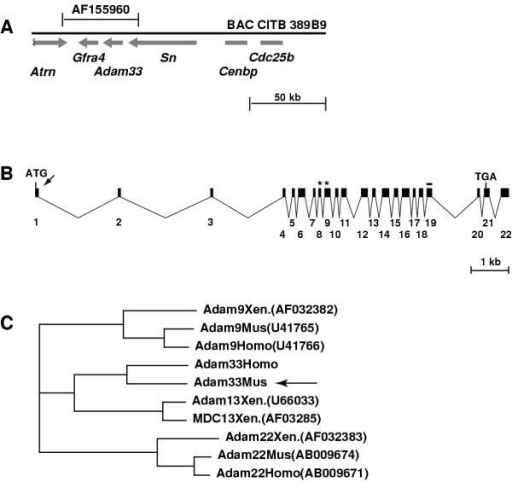 Adam33 structure and phylogeny (A) Location and orientation of genes on BAC389B9. The entire Adam33 gene is contained within a 48 kb contig (AF155960) that also contains the Gfra4 gene and the 3' ends of Atrn and Sn. (B) Beginning with the translational start site, Adam33 is contained within 22 exons that span approximately 12.6 kb of genomic sequence. The putative signal sequence cleavage site (arrow), metalloprotease domain (asterisks) and transmembrane domain (line) are indicated. (C) ClustalW Phylogeny for ADAM proteins most closely related to Adam33 (arrow). For reference, human (Homo), mouse (Mus), and Xenopus laevis (Xen.) orthologs are shown for Adam9 and Adam22.