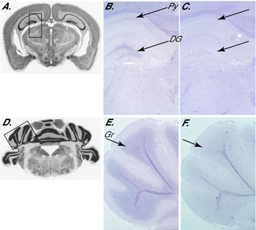 Expression pattern of Adam33 in adult mouse brain. (A, D) Photomicrographs of coronal sections of adult mouse brain, from the Mouse Brain Library [25],[26]. Boxes indicate approximate regions shown in panels B-C and E-F. (B-C and E-F) In situ hybridization of digoxigenin labeled antisense (B, E) and sense (C, F) RNA probes derived from IMAGE clone 636599. Adam33 expression was observed only in the dentate gyrus (DG) and pyramidal cell layer (Py) of the hippocampus (panel B) and the granule layer (Gr) of the cerebellum (panel E), indicated by arrows.